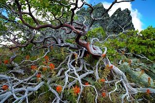 Manzanita patula
