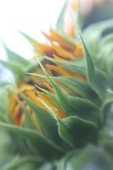 August 3, 2011 (interchangeableparts) Tags: summer flower lensbaby sunflower project365 lensbabymacro sooc anearlyaugustdaythatfeltlikelateseptember allthisfeelinglikefallsintheairisgoingtosendusintoafalllongingdownwardspiral