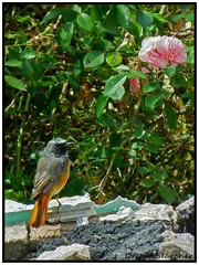 Redstart (Dream_Searcher) Tags: pink red flower detail male bird rose rouge fuji tail feather queue sparrow finepix fujifilm redstart mle rougequeue hs10 hs11