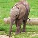 African Elephant Howletts