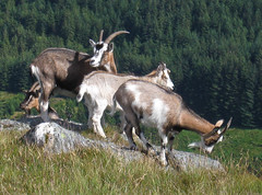 Feral goats on Venue's eastern slopes
