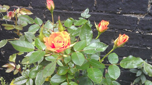 The mystery rose bush