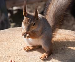 Tilt-shift snack (TomiTapio) Tags: feet face helsinki eyes squirrel toes eating iso400 peanuts ears whiskers orava paws écureuil seurasaari sciurusvulgaris sqrl eartufts eurasianredsquirrel kurre canonef90300mmf4556usm