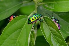 Bugs Life  A Tale Of Three Friends (pallab seth) Tags: india macro green rain bug season insect nikon monsoon bengal bugslife westbengal scutelleridae shieldbackedbug lampromicra chrysocorisstolli d5100 lycheeshieldbug greenjewelbug  kanchpoka grambanglarchobi