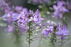 Rainy Days and Mondays (Jacky Parker Floral Art) Tags: uk flowers nature rain horizontal closeup landscape drops flora purple bokeh creative lilac softfocus blooms orientation cleome floralessence