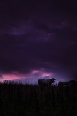 happy cow (NastyNinja) Tags: pink sunset sky sun storm black green field grass animal clouds sunrise canon germany munich landscape bavaria grey cow milk eli purple cattle farm full frame l 5d thunderstorm gras regensburg ratisbon thunder markii 2470 nastyninja