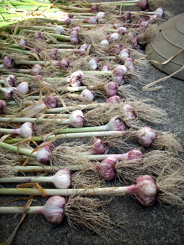 Pretty garlic
