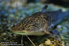 Catishes and Knifefishes - Speciesbase Nature Photography