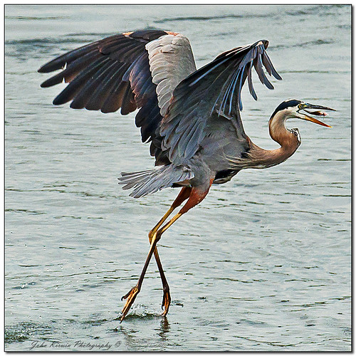Heron walking on Water