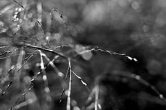 Halm (Martin.Matyas) Tags: flowers blackandwhite bw flower canon blackwhite flora natur pflanze pflanzen blumen canonef50mmf18 gras blume schwarzweiss halm naturesfinest grashalm naturaufnahme eos400d naturschauspiel schwarzweissfoto focusbokeh naturescreations