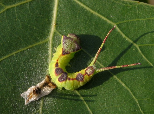 furcula caterpillar with shed skin