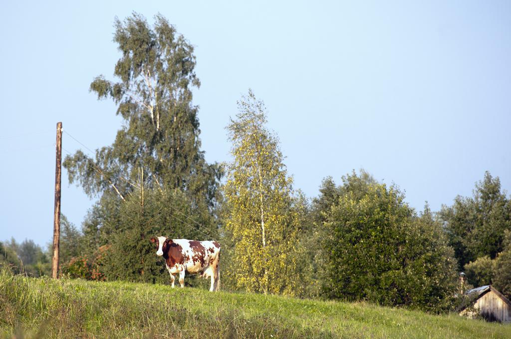 корова02