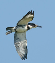 Belted Action (Wes Aslin) Tags: bird mission avian bif beltedkingfisher cerylealcyon tc14eii nikkor300mmf4afs