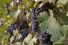 Vendemmia 2011 - Grappoli (carlobaldino) Tags: italy vineyard harvest piemonte grapes uva piedmont grape vendemmia barbera asti vigna 葡萄 grappoli cellarengo