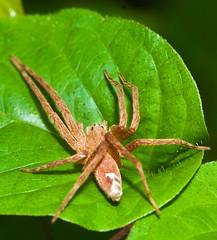 Dolomedes sulfureus,  (aeschylus18917) Tags: macro nature japan spider nikon g arachnid micro  hunter saitama nikkor predator  f28 vr hanno pxt arachnida saitamaken araneae 105mm  105mmf28 dolomedes  pisauridae 105mmf28gvrmicro saitamaprefecture d700 nikkor105mmf28gvrmicro  danielruyle aeschylus18917 danruyle druyle    dolomedessulfureus  hann hannshi