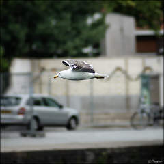 Flying focus (Pjotre7 (www.maartenvandevoort.nl)) Tags: focus bevroren seagull freeze panning tilburg meeuw 2011 piushaven pjotre7