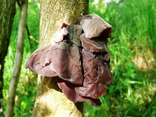 Oreille de Judas sur bois mort de sureau noir - Sampeyre 011