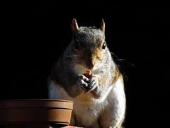 Squirrel (Screwdriver32,more off than on :-() Tags: scotland squirrel fuji wildlife finepix fujifilm ayr ayrshire hs10 hs11 myfuji screwy32 screwdriver32 myfjui johnscrewdriver