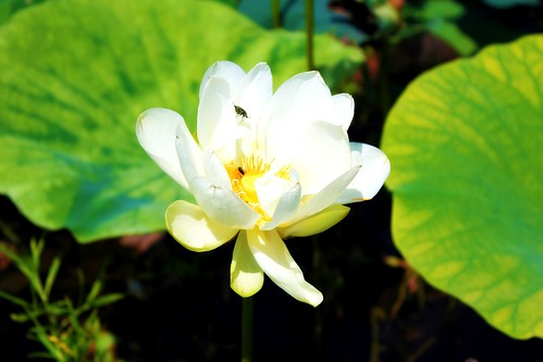 Lilypad Pond Flower3