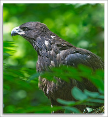 Fledgeling Bald Eagle (richpope) Tags: bird eagle baldeagle delawareriver fledgeling