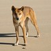 O ameaçador cachorro selvagem Dingo, hehe