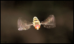 HOVERFLY  ( EXPLORE ) (Grasping-air) Tags: hoverfly