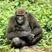 E... os gorilas das planícies