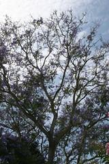 Jacaranda Tree (Anna Sunny Day) Tags: nature sandiego jacarandatree