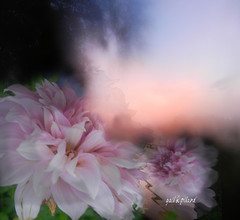 Morning floral  light (gailpiland) Tags: morning pink light flower digital photo excellent naturelover fantasticnature flickraward gailpiland