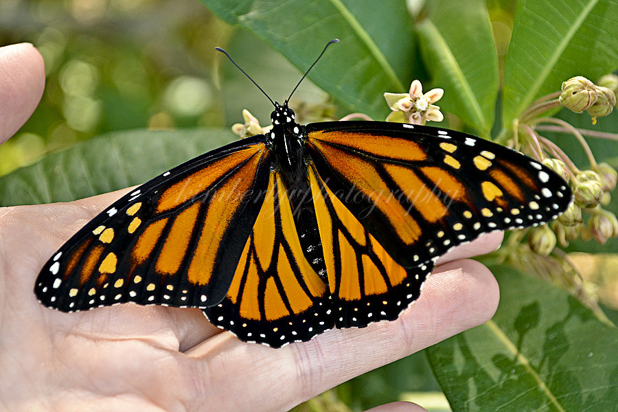 Monarch butterfly #5