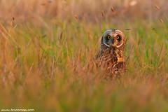 Coruja-do-nabal | Short-eared owl (Asio flammeus) (Bruno Maia | www.brunomaia.com) Tags: birds avesemportugal aves avesdeportugal shortearedowl asioflammeus corujadonabal