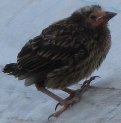 Fledgling on Greenhouse