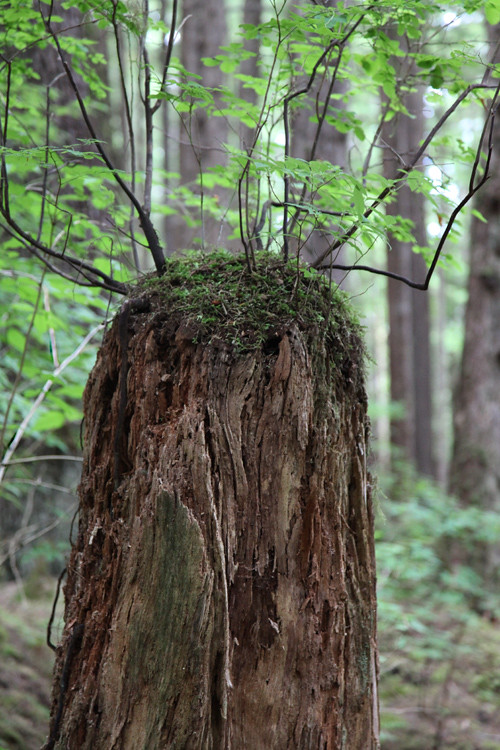 stump with small trees growing, Kasaan, Alaska
