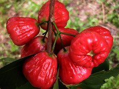 Wax Jambu  #7: RED  #2  /  (Bengali = ) (3Point141) Tags: man florida waxapple ghosh myrtaceae waxjambu javaapple rockledge syzygium jamrul makopa syzygiumsamarangense chompu chomphu jambuklampok syzygiumjavanicum jaamrul jambusemarang jambuairmawar chomphukaemmaem 3point141