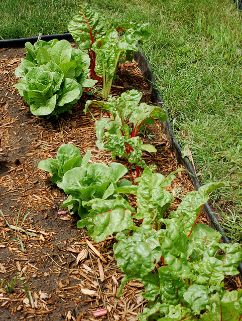 Baby Romaine and Swiss Chard
