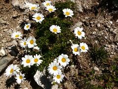 Marguerite des Alpes=Leucanthemopsis alpina - au pied du Mont Bellachat 058