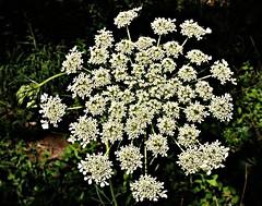 Tall Weed (BACKYard Woods Explorer) Tags: weeds weed queenanneslace whiteflowers summerflowers weedflowers july2011 fujifilmfinepixs1500