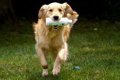   Bath Time   (SOBPhotography) Tags: rescue dog chien pet cane goldenretriever golden canine hond retriever perro hund brady goldenretrieverrescue