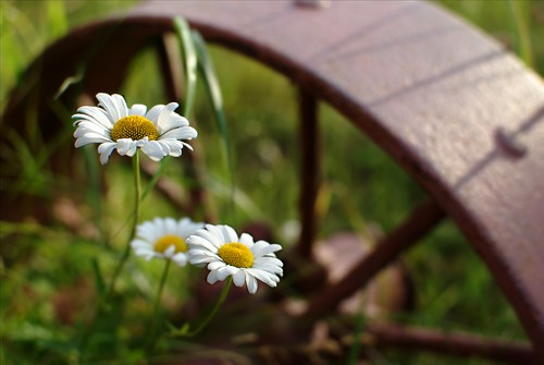 Wild Daisies by dcclark