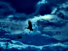 DSCN1882 blue winged dreams (pinktigger) Tags: blue italy silhouette backlight clouds wings italia sly stork friuli fagagna cicogna fineartphotos abigfave feagne