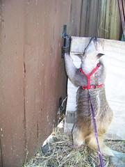 Climbing the bunny gate