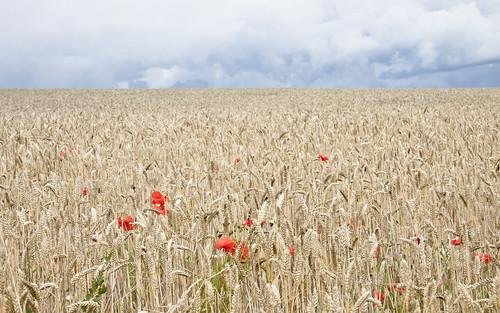 フリー写真素材, 花・植物, 小麦・コムギ, 田畑・農場, ヒナゲシ,
