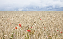 [Free Image] Flower / Plant, Wheat, Fields / Farm, Poppy, 201107261900