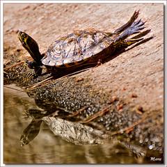 MIC_SWIMMERS_OF_CAPRICE (EXPLORE) (MANU_LEFT) Tags: madrid parque flores macro de agua el mic por margaritas tortugas fotografica paseos capricho nenufar macrofotografia asociacion solidaria fotograficos aphotos alaweb2009 micalaweb