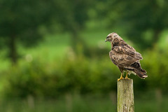 Perched Common Buzzard (Gareth Scanlon) Tags: uk brown green bird eye yellow wales contrast fence ed bill nikon carmarthenshire open post bokeh wide beak feather sharp 300mm upper claw talon raptor hedge if perched prey buzzard nikkor common gareth scanlon f4 afs buteobuteo buteo gwynfe brynamman d300s garethscanlon