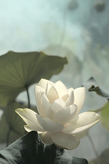 Lotus Flower - IMG_0225-1 (Bahman Farzad) Tags: flower macro yoga peace lotus relaxing peaceful meditation therapy lotusflower lotuspetal lotuspetals lotusflowerpetals lotusflowerpetal