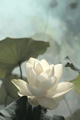 Lotus Flower - IMG_0225-1 (Bahman Farzad) Tags: flower macro yoga peace lotus relaxing peaceful meditation therapy lotusflower lotuspetal lotuspetals lotusflowerpetals lotusflowerpetal
