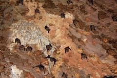 Bats in a Bat Cave