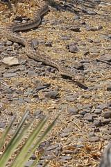 Gopher Snake (Stephen J Pollard (Loud Music Lover of Nature)) Tags: reptile snake culebra rptil serpiente vbora gophersnake vborasorda