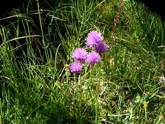 Ciboulette=Allium schoenoprasum - Aravis 006